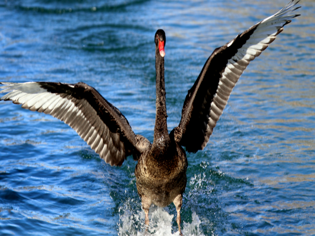Konya'da siyah kuğuların göz kamaştıran zarafeti