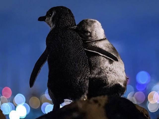 Aile bireylerini kaybetmiş iki penguenin birbirine sarıldıkları o an.