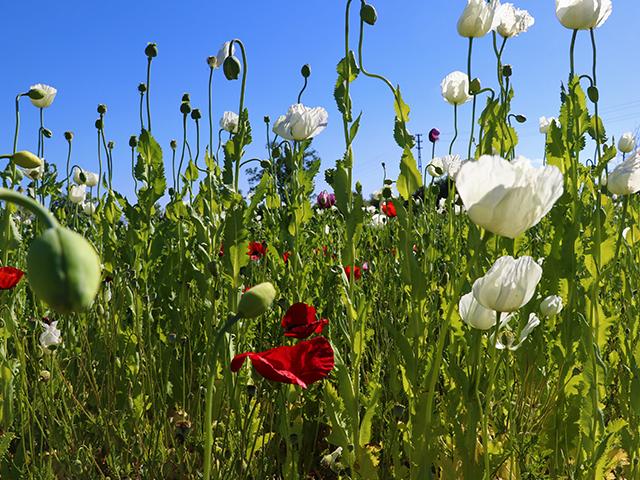 Burdur'da ekilen beyaz haşhaşın çiçekleri ile tarlada açan gelincikler görsel şölen yaşatıyor