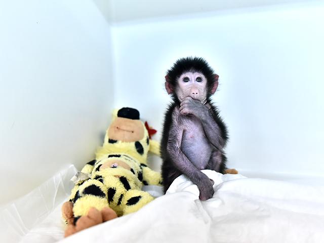"""Annesi kabullenmeyince kuvözde büyütülen yavru maymun """"Nisan"""""""