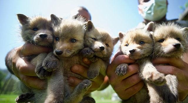 Yozgat'ta yetim kalan tilki yavruları bakıma alındı