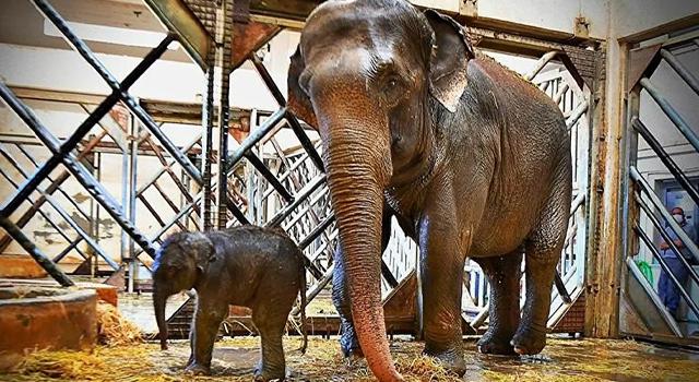 İzmir Doğal Yaşam Parkı'nda yavru fil heyecanı