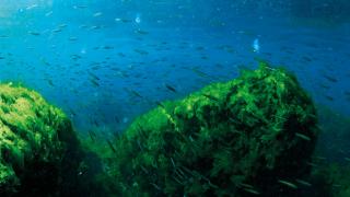 Müsilajın sardığı Marmara Denizi'nden çıkan balık yenir mi?