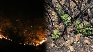 Manavgat orman yangınından sonra ilk bitki filizlendi!
