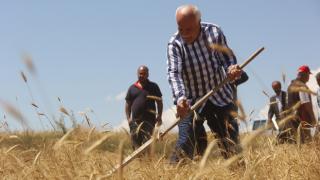 Sivas'ta 7 yıl önce bulunan bir avuç ata tohumu buğdaydan 500 dönümde hasat yapıldı