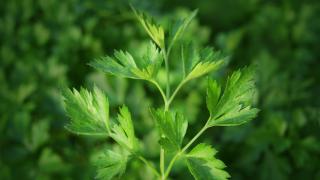 """Yeni bir maydanoz türü keşfedildi: """"Apiaceae"""""""