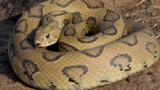 Karısını, kiralık yılanla öldürdü!
