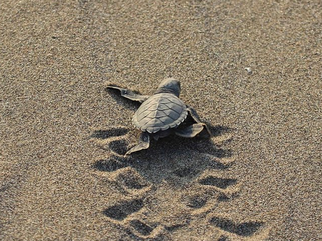 Patara Plajı'na 250 Deniz Kaplumbağası Yumurta Bıraktı